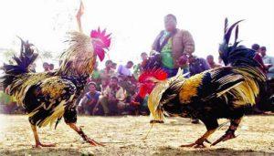 Situs Agen Sabung Ayam Online