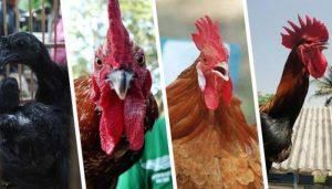 Jenis Ayam Petarung Terbaik Dunia